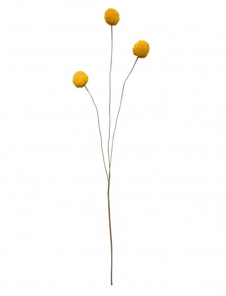 ASA Craspedia gelb 55 cm